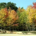 A picture of fall trees.